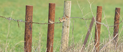 Linnets on the Fence (Steve Dewey) Tags: wiltshire sonya7r2 bird linnet fence fencepost barbedwire 2351 spta sptacentre salisburyplain sony70400g