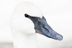 Trumpeter (rdroniuk) Tags: birds swan waterbirds waterfowl trumpeterswan cygnusbuccinator oiseaux oiseauxdeau cygne cygnetrompette cygnus