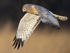 Male Northern Harrier (GRAY GHOST) (Brian E Kushner) Tags: northernharrier northern harrier marshhawk marsh hawk circus cyaneus circuscyaneus pole farm polefarm lawrence township nj mercer meadows mercermeadows birding bird nikon d850 nikond850 nature bkushner wildlife animals ©brianekushner nikonafsnikkor800mmf56efledvrlens afs nikkor 800mm f56e fl ed vr lens gray ghost flight flying hunting coth5