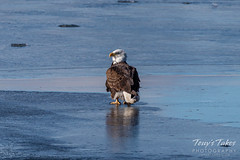 January 3, 2020 - Bald eagle on ice in Adams County. (Tony's Takes)