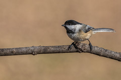 Chickadee (Lynn Tweedie) Tags: wood bokeh beak tail wing canon ngc animal missouri chickadee bird 5dmarkiv sigma150600mmf563dgoshsm eye eos feathers tree branch