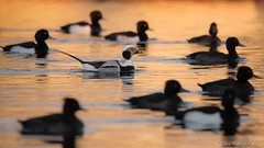Couché de soleil entre potes. (DorianHunt) Tags: longtailedduck 2020 birds bokeh switzerland january nikond500 sigma 150600mm