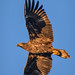 Juvenile bald eagle in flight at sunrise at Ten Thousand Islands National Wildlife Refuge, Naples, Florida