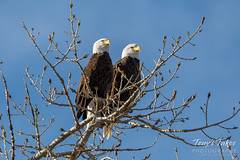 January 4, 2020 - Bald eagle pair keeping watch. (Tony's Takes)