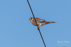 January 3, 2020 - An American kestrel hanging out. (Tony's Takes)