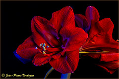 Amaryllis rouge (Jean-Pierre Verduzier) Tags: fleur flore floral végétal nature rouge cznon 100mmmacro macro macrophotographie