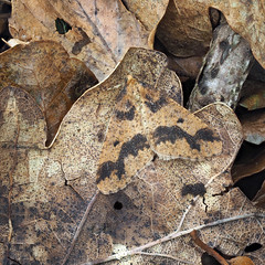 Mottled Umber Erannis defoliaria (Clive E Jones) Tags: nature maeshafn moths aberduna denbighshire north wales mothtrapping mottled umber erannis defoliaria