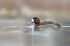 Scaup (f) (ayres_leigh) Tags: humber toronto bird duck water fowl waterfowl lake nature scaup female wildlife