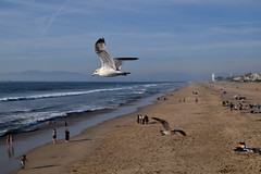bird (greenelent) Tags: bird seagull beach ocean pacificocean ca manhattanbeach 365 photoaday