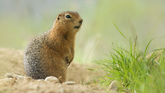 Arctic Ground Squirrel (christianhoefs) Tags: arcticgroundsquirrel yukon kanada tombstone canada