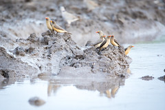 Oxpecker Morning Meeting (jeff_a_goldberg) Tags: africa botswana redbilledoxpecker oxpecker wildlife gomoti buphaguserythrorhynchus nature reflection unescoworldheritagesite unesco wildernesssafaris naturalhabitatadventures nathab jeffgoldbergphotography okavangodelta maun northwestdistrict