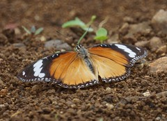 THE PLAIN TIGER - DANAUS CHRYSIPPUS (nikolayloginov) Tags: суматра индонезия бабочка sumatra indonesia butterfly