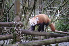 Zoo Time-31 (jd.keenan) Tags: animal forest fur bamboo park tail bear panda cat zoo asia china adorable ailurus asian chinese fulgens lesser lovely mammal natural nature tropical wild wildlife cute red white leaf redpanda