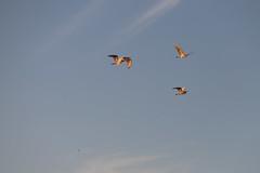 IMG_2394 (FrockPhotos) Tags: louisiana coastalbirds