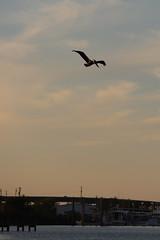 IMG_2304 (FrockPhotos) Tags: louisiana coastalbirds pelican