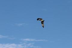 IMG_2216 (FrockPhotos) Tags: louisiana coastalbirds osprey fortjackson