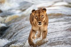 Africa is Calling (RH Miller) Tags: rhmiller reedmiller wildlife lion lioness water sandriver southafrica