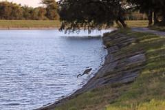 IMG_2235 (FrockPhotos) Tags: louisiana coastalbirds heron fortjackson