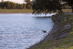 IMG_2231 (FrockPhotos) Tags: louisiana coastalbirds heron fortjackson