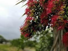 pohutukawa (Fleet.) Tags: pohutukawa westcoast wildernesstrail coast summer newzealand aotearoa rain raindrops bokeh fleet grey