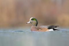 American Wigeon, Drake (ayres_leigh) Tags: humber toronto ontario water lake bird wigeon nature wildlife canon 90d