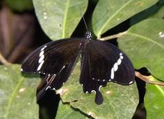 THE BLACK AND WHITE HELEN - Papilio nephelus (nikolayloginov) Tags: суматра индонезия бабочка sumatra indonesia butterfly