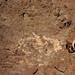 Sandstone injectite with granite clasts (Tava Sandstone, Neoproterozoic; southwest of Woodland Park, Colorado, USA) 2