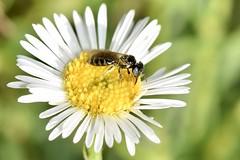 Native bee in garden (jeans_Photos) Tags: seasidedaisies daisies swanview garden westernaustralia
