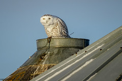 4205 Hunched up (paule48) Tags: action animal bird canada regina sk snowl saskatchewan blue color farm grainbin gray hunched owl perched raptor snow white triangle snowyowl expression