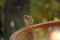 Tiny birdie (nickant44) Tags: clarendon australia bird bath water bokeh green canon 40d 55250mm efs