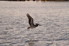 IMG_2334 (FrockPhotos) Tags: louisiana coastalbirds pelican