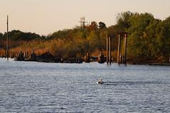 IMG_2307 (FrockPhotos) Tags: louisiana coastalbirds pelican