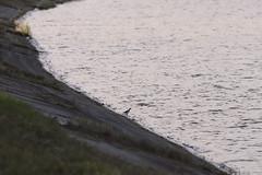 IMG_2257 (FrockPhotos) Tags: louisiana coastalbirds fortjackson