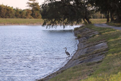 IMG_2230 (FrockPhotos) Tags: louisiana coastalbirds fortjackson heron