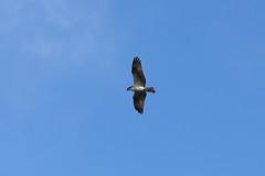 IMG_2220 (FrockPhotos) Tags: louisiana coastalbirds osprey fortjackson