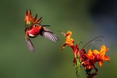 Going for It! (Patricia Ware) Tags: allenshummingbird california canon ef400mmf4doisiiusmlens kennethhahnrecreationalarea losangeles monopod selasphorussasin ©2020patriciawareallrightsreserved specanimal