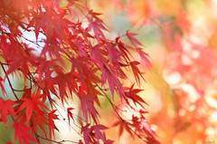 maple leaves (Christine_S.) Tags: canoneosm5 ef100mmf28l japanesemaple japan red nature closeup bokeh sunlight sunshine autumn fall foliage bright yello ngc