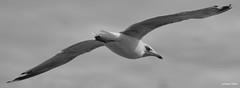 De passage en bord de mer (François Tomasi) Tags: oiseau bird françoistomasi 2020