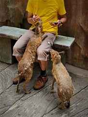 human & animal interaction (SM Tham) Tags: asia southeastasia malaysia perak ipoh tambun thelostworldoftambun pettingzoo animal rodent patagonianmara me bench climbing friendly