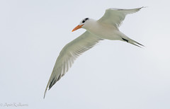 Royal Tern (akulkarn) Tags: birds shorebirds