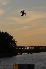 IMG_2361 (FrockPhotos) Tags: louisiana coastalbirds pelican