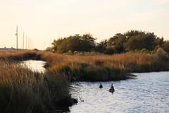IMG_2339 (FrockPhotos) Tags: louisiana coastalbirds pelican
