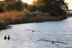 IMG_2338 (FrockPhotos) Tags: louisiana coastalbirds pelican