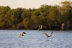 IMG_2322 (FrockPhotos) Tags: louisiana coastalbirds pelican