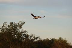 IMG_2293 (FrockPhotos) Tags: louisiana coastalbirds pelican