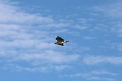 IMG_2215 (FrockPhotos) Tags: louisiana coastalbirds osprey fortjackson