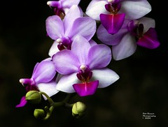 Orchid Purple & White. (rumerbob) Tags: orchidpurple orchidwhite orchid flower floral flowergarden fauna flowerphoto macro macroflower macrophotography nature naturewatcher naturephotography botany botanicalgardens botanical longwoodgardens canon7dmarkii canon100mmmacrolens