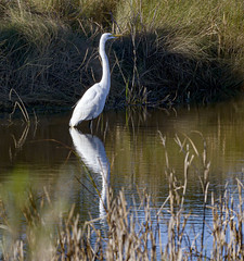 2020 Day 4:  reflecting (in explore) (Mark.Swanson) Tags: bird egret greategret ardeaalba baytownnaturecenter baytown texas christmasbirdcount