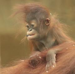 borneo orangutan Minggu Ouwehand BB2A0427 (j.a.kok) Tags: animal asia aap azie ape mammal monkey mensaap borneoorangutan borneoorangoetan borneo orangutan orangoetan orang minggu zoogdier dier primate primaat ouwehands ouwehandsdierenpark ouwehand specanimal