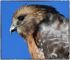 Red Shouldered Hawk (RKop) Tags: armlederpark raphaelkopanphotography nikon 600mmf4evr 14xtciii nature birds cincinnati ohio